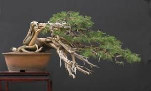 bonsai Azotado por el viento